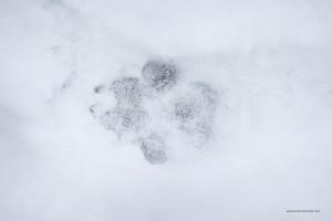 Canis lupus italicus. Si possono notare differenze tra singoli esemplari