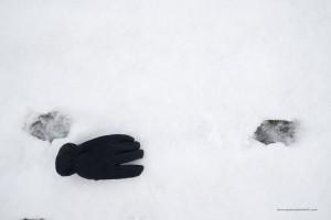 Canis lupus italicus. La distanza tra la fine di una impronta e l'inizio dell'altra è circa 50cm