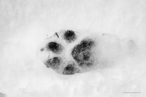 Canis lupus italicus. Con la neve giusta è facile capire la direzione degli animali