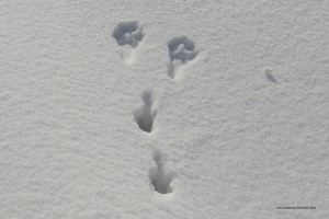 Lepus europaeus. Le impronte delle zampe posteriori potrebbero ingannare i meno esperti ma la lepre se la neve è morbida lascia segni inconfondibili