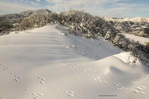 Lepus europaeus. Sulla neve anche una sola lepre può lasciare tante impronte