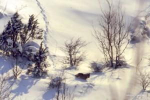 Canis lupus italicus. Trovare una traccia nella neve alta e morbida senza vedere chi è passato diventa molto difficile capire chi è passato