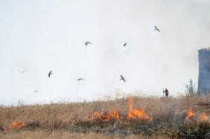 Tra il fumo delle stoppie i falchi catturano facili prede