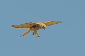 Acrobati dell'aria mangiano in volo