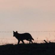 Nel Pollino un campo per conoscere il lupo