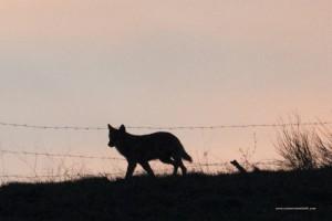 Canis lupus italicus