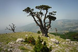 Parco nazionale del Pollino. Pino loricato, Pinus leucodermis.
