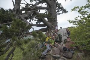 Il patriarca, Pinus leucodermis