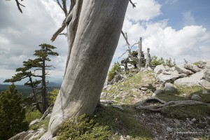 Pini loricati. Pinus leucodermis