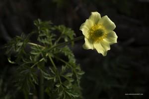 Pulsatilla alpina, anemone giallo