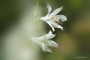 Clematide Alpina, Clematis alpina