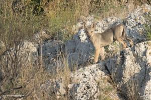 Canis lupus italicus, alle prime luci dell'alba
