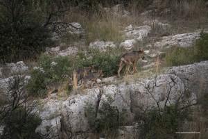 Canis lupus italicus, i cuccioli seguono i genitori alla continua richiesta di cibo