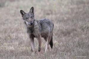 Giovane lupo, Canis lupus italicus