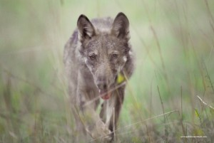 Canis lupus italicus, tra l'erba di una radura