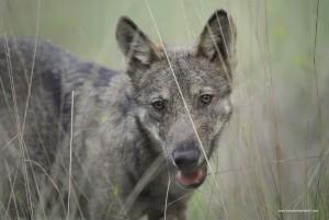 Giovane lupo nell'erba