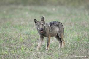 Canis lupus italicus, cucciolo dopo un abbondante pasto