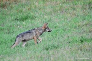 Canis lupus italicus in atteggiamento di caccia