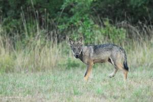 Canis lupus italicus, sorpreso dalla mia presenza