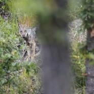 Da non credere, anche i lupi mangiano la frutta