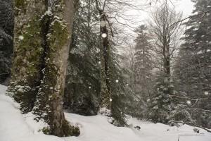 Faggi e abeti nel bosco Iannace 26 marzo 2016
