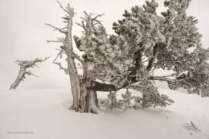 Pinus leucodermis, Serra Crispo 26 marzo 2016
