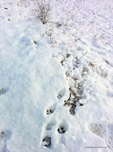 Raspate di lupo sulla neve