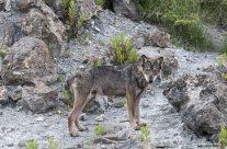 Il lupo di pietra