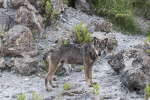 Canis lupus italicus. Mimetismo tra i sassi