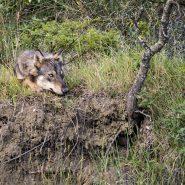 Il bosco dei lupi che dormono
