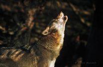 Il lupo che non conosci
