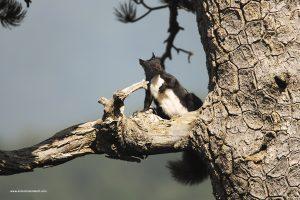 scoiattolo meridionale Sciurus meridionalis