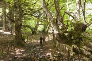 Vecchio bosco di faggi