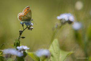 Farfalla su Non ti scordar di me, Licaena