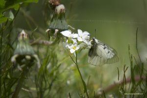 Farfallina su fiore