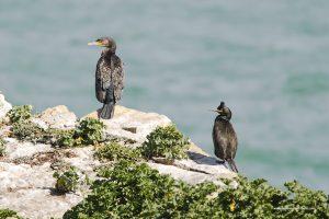 Cormorano e cormorano dal ciuffo, Phalacrocorax carbo