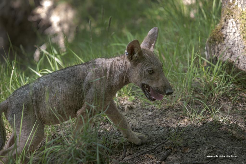 Molto Cuccioli di lupo | Antonio Iannibelli YL15