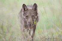 Morte tra i lupi