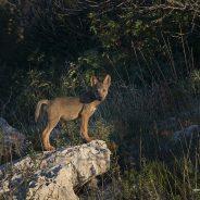 Basilicata wolf to wolf 2020