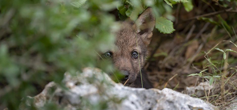 Frutti selvatici e lupi